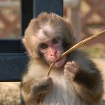 子猿のシャーロット騒動は「愛」のなせる業